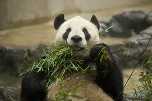 sasataberu-panda.jpg